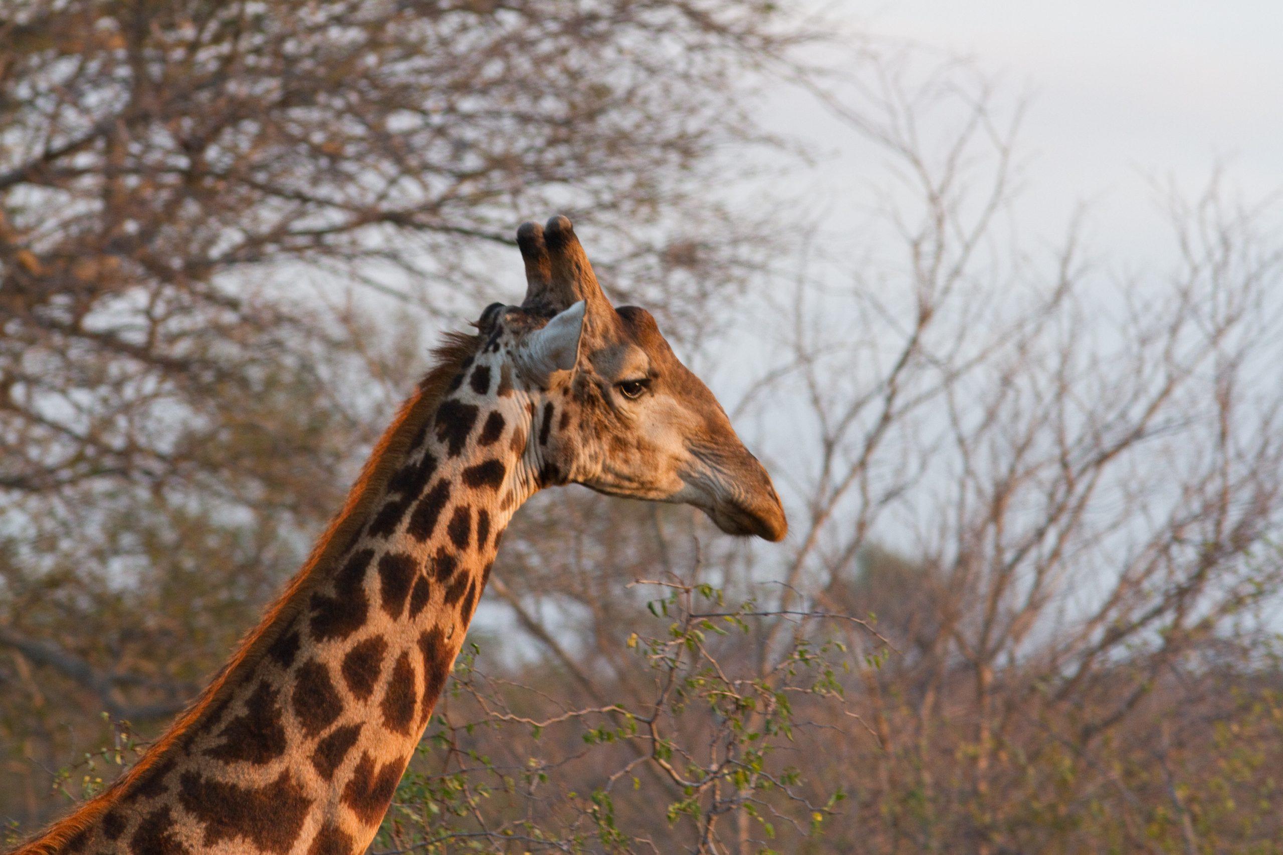 girafe biologie animale
